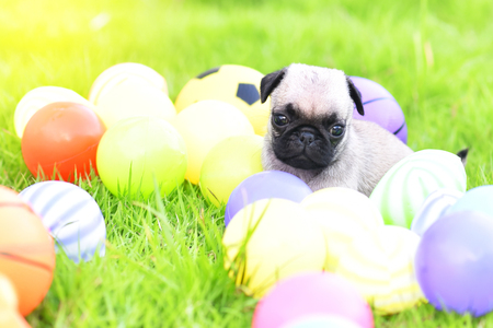 Cute puppy brown Pug with colorful ball in green lawn Stock Photo