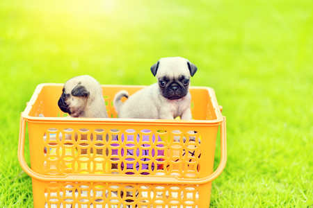 Cute puppy brown Pug in orange basket 免版税图像