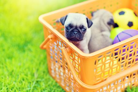 Cute puppy brown Pug in orange basket Stock Photo