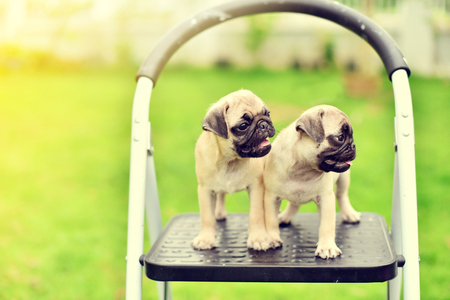 Cute puppies brown Pug standing on stair
