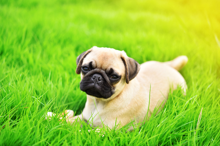 Cute puppy brown Pug playing alone in green lawn