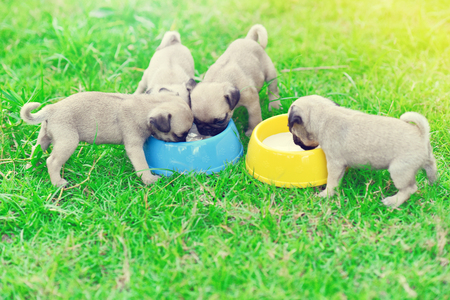 Cute puppies Pug scramble to eat goat milk in dog bowl