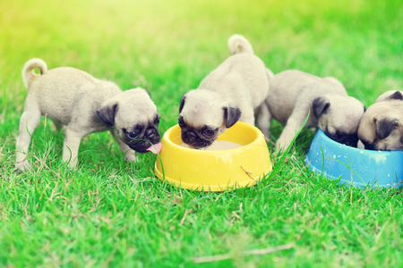 Cute puppies Pug scramble to eat goat milk in dog bowl 版權商用圖片 - 120783371