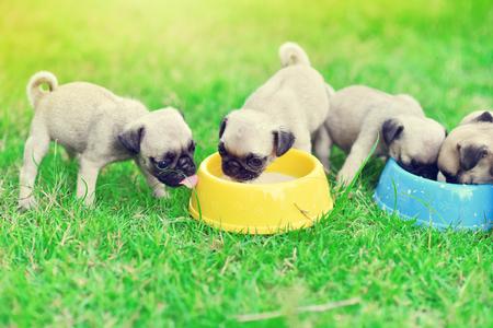 Lindos cachorros Pug se apresuran a comer leche de cabra en un tazón para perros