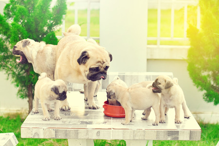 Cute puppies Pug playing with mother
