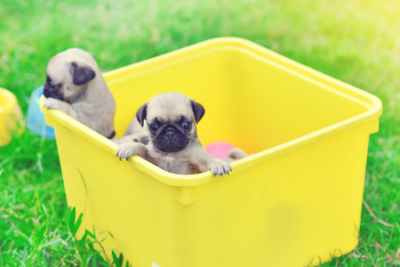 Cute puppies brown Pug playing in yellow bucket