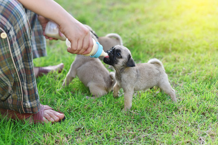 Cute puppies Pug eating goat milk in nursing bottle