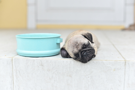 Cute puppy Pug sleeping in front of house after eat feed