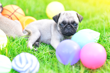Cute puppy brown Pug playing with ball in green lawn