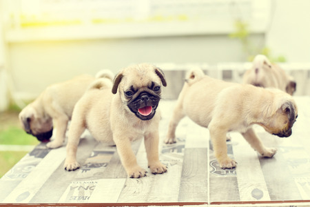Cute puppies Pug playing together on marble table