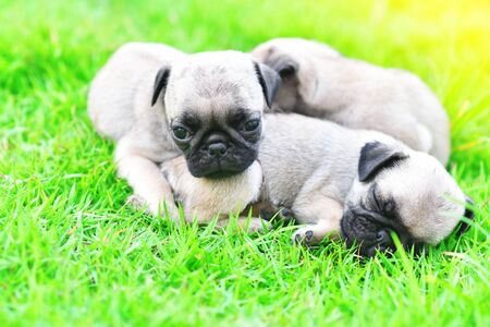 Cute puppies Pug sleeping together in green lawn after eat feed 写真素材