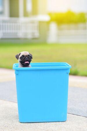 Cute puppy brown Pug stay in blue bucket