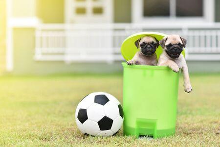 Cute puppies Pug in green bin with football Archivio Fotografico - 129451383