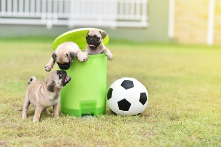 Cute puppies Pug in green bin with football Archivio Fotografico - 129451407