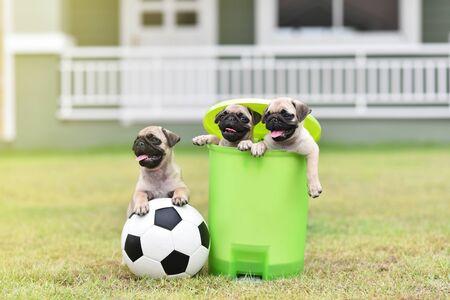 Cute puppies Pug in green bin with football Archivio Fotografico - 129451419