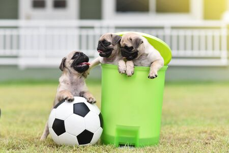 Cute puppies Pug in green bin with football Archivio Fotografico - 129451420