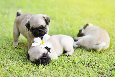 Cute puppies brown Pug playing together in green lawn