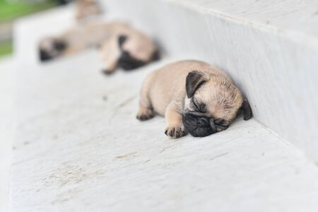 Cute puppy Pug sleeping in front of house 写真素材
