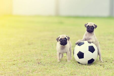 Cute puppies Pug playing together with football Archivio Fotografico - 129450372