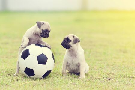 Cute puppies Pug playing together with football Archivio Fotografico - 129450374