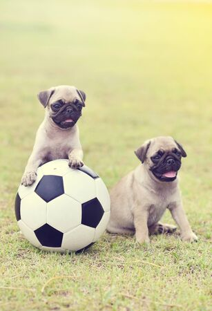 Cute puppies Pug playing together with football Archivio Fotografico - 129450395