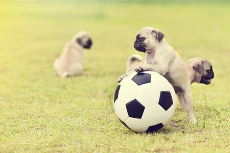 Cute puppies Pug playing together with football Archivio Fotografico - 129450396