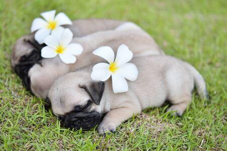 Cute puppy Pug sleeping in green lawn with flower