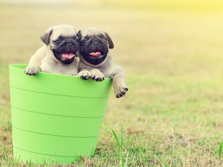 Cute puppy brown Pug playing in green bucket