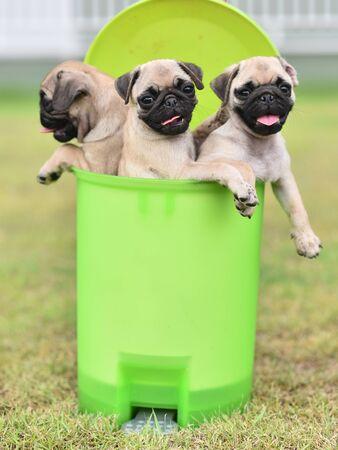 Cute puppy brown Pug playing in green bin