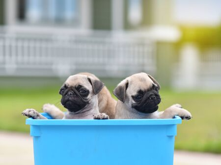 Cute puppies brown Pug stay in blue bucket Stockfoto