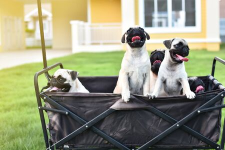 Cute Pug family playing together in truck Stock Photo - 131341734