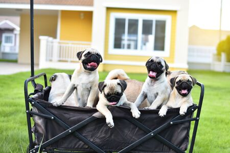 Cute Pug family playing together in truck Stock Photo - 131341740
