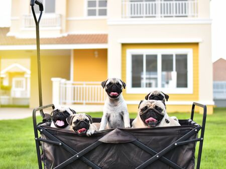 Cute Pug family playing together in truck Stock Photo - 131341739