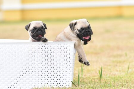 Cute puppies brown Pug playing with white bucket Stockfoto