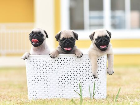Cute puppies brown Pug playing with white bucket Banco de Imagens