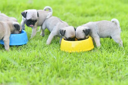 Cute puppies brown Pug eating goat milk in dog bowl