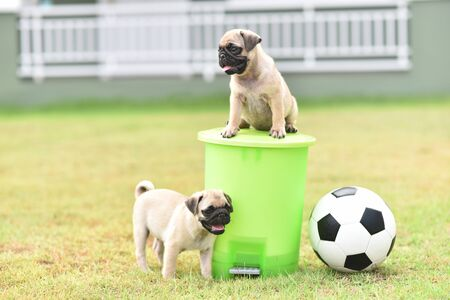 Cute puppy brown Pug playing with green bin Banque d'images
