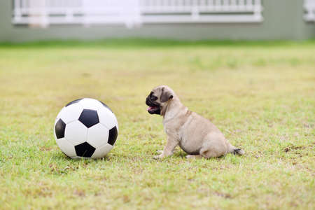 Cute puppy brown Pug playing in the grass field with football
