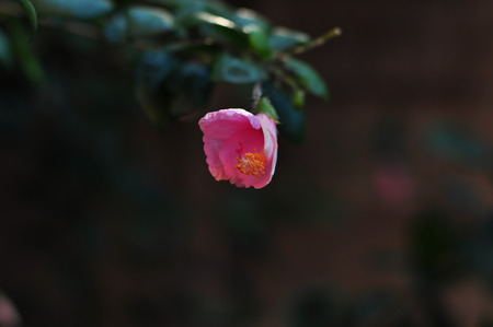 china rose: Pink china rose Stock Photo