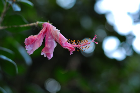 china rose: Pink china rose. Stock Photo