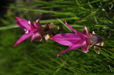 siam: Siam Tulip or Patumma