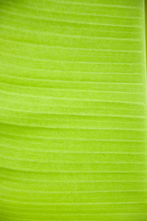 close up: Banana leaf close up