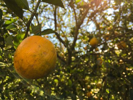 naranja arbol: �rbol anaranjado con las frutas