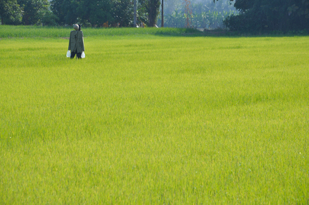 autumn scarecrow: Green rice field and scarecrow