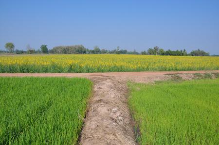 crossroad: Cruce en fleld arroz