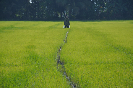 scarecrow: Green rice field and scarecrow