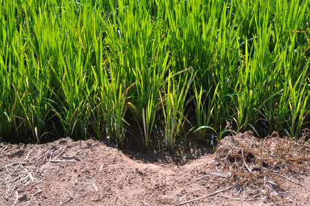 dependence: Dependence between rice and soil