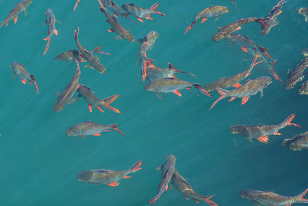 A group of Red tail carp at Khao Sok National Park,Surat Thani Province,Thailand Stock Photo