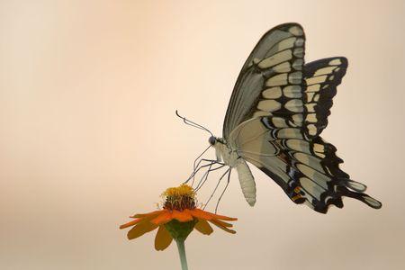 butterflies nectar: Butterfly on an orange flower Stock Photo