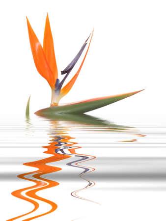 Flower bird of paradise with reflection Stockfoto
